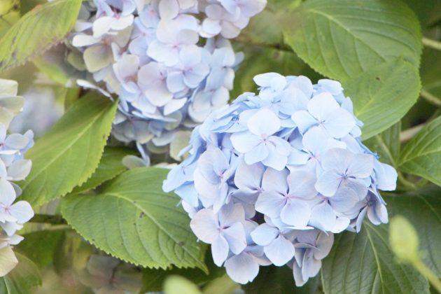 Hortensien, Hydrangeae sind in vielen Farbnuancen erhältlich