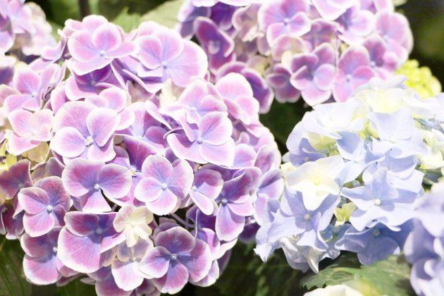 Hortensien, Hydrangeae mit weißen Blütenrändern
