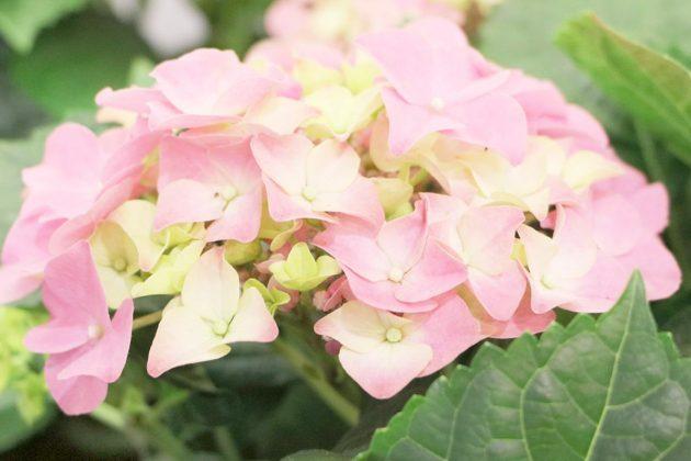 Hortensie, Hydrangea mit zart rosa Blüten