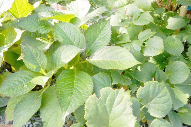 Hortensien, Hydrangeae haben grüne und große Blätter