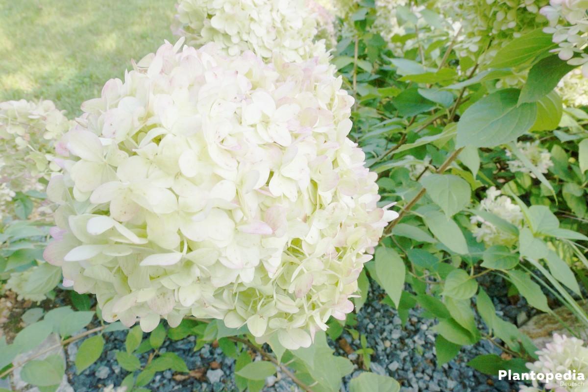 Hortensien stammen aus Asien, Süd- und Nordamerika und den Azoren