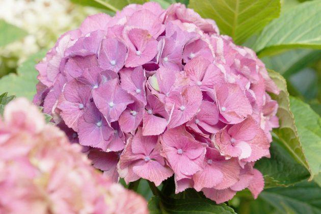 Hortensien, Hydrangeae zeigen sich mit voll gefüllten Blütenköpfen