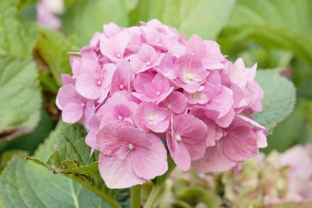Hydrangea ist für Garten und Kübel geeignet