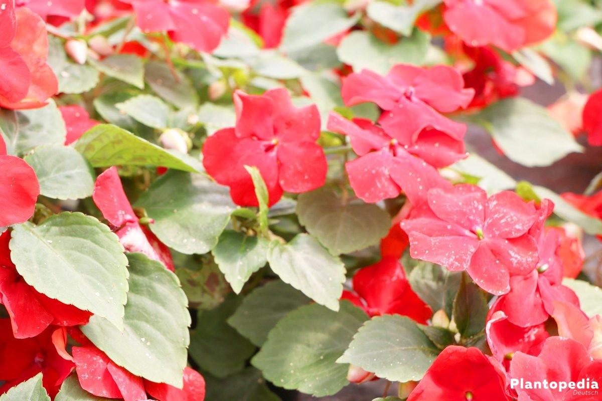 Fleißiges Lieschen mit vielen, dicht nebeneinanderliegenden Blüten