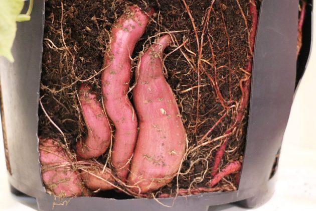 Ipomoea batata, Süßkartoffel