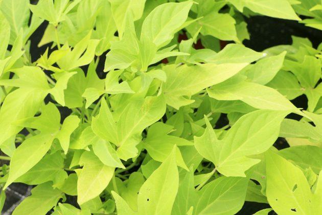 Ipomoea batata 'Terrace Lime', Süßkartoffel