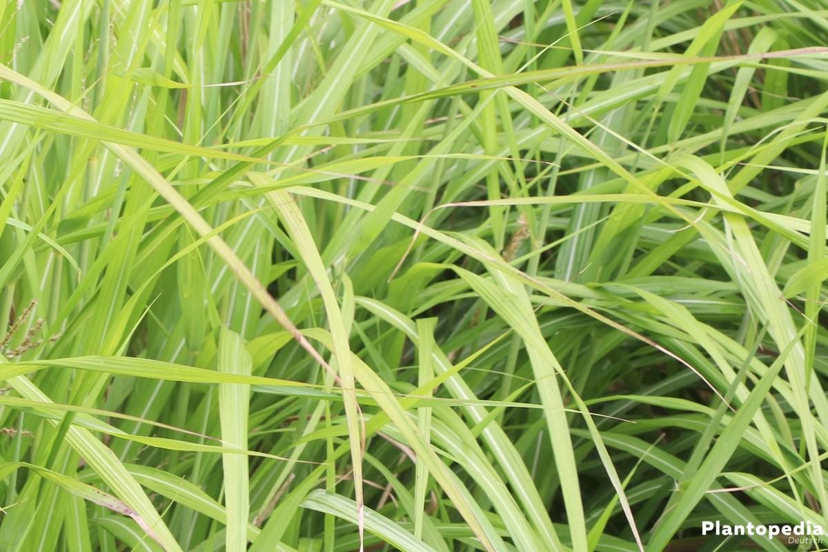 Miscanthus sinensis gibt es in vielzähligen Sorten