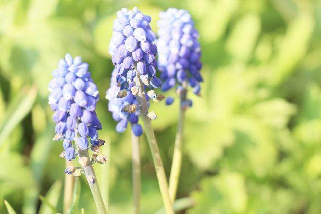 Traubenhyazinthe ist eine Zwiebelpflanze