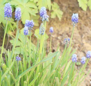 Muscari im Garten