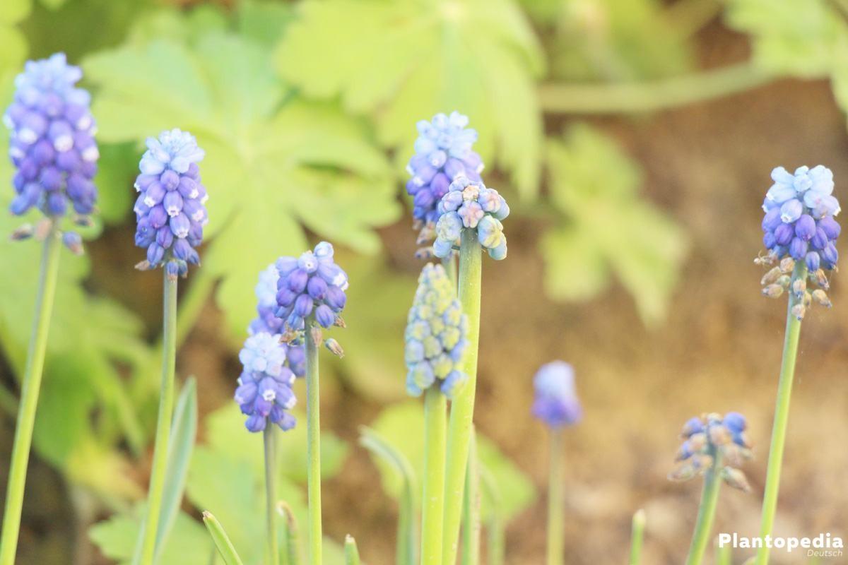 Muscari ist ein pflegeleichter Frühlingsblüher