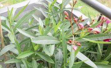 gummibaum ficus elastica pflege anleitung plantopedia. Black Bedroom Furniture Sets. Home Design Ideas