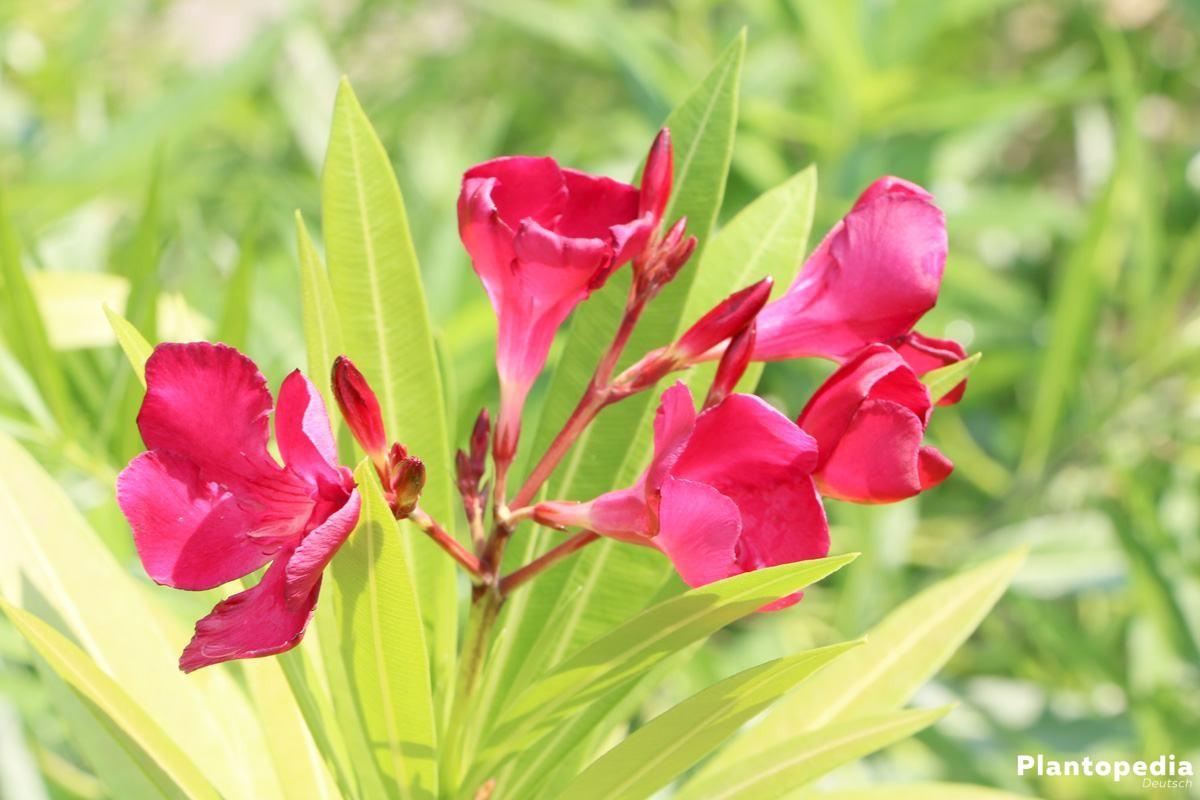 Nerium oleander mit Blütenrispen in Weiß oder Rosatönen
