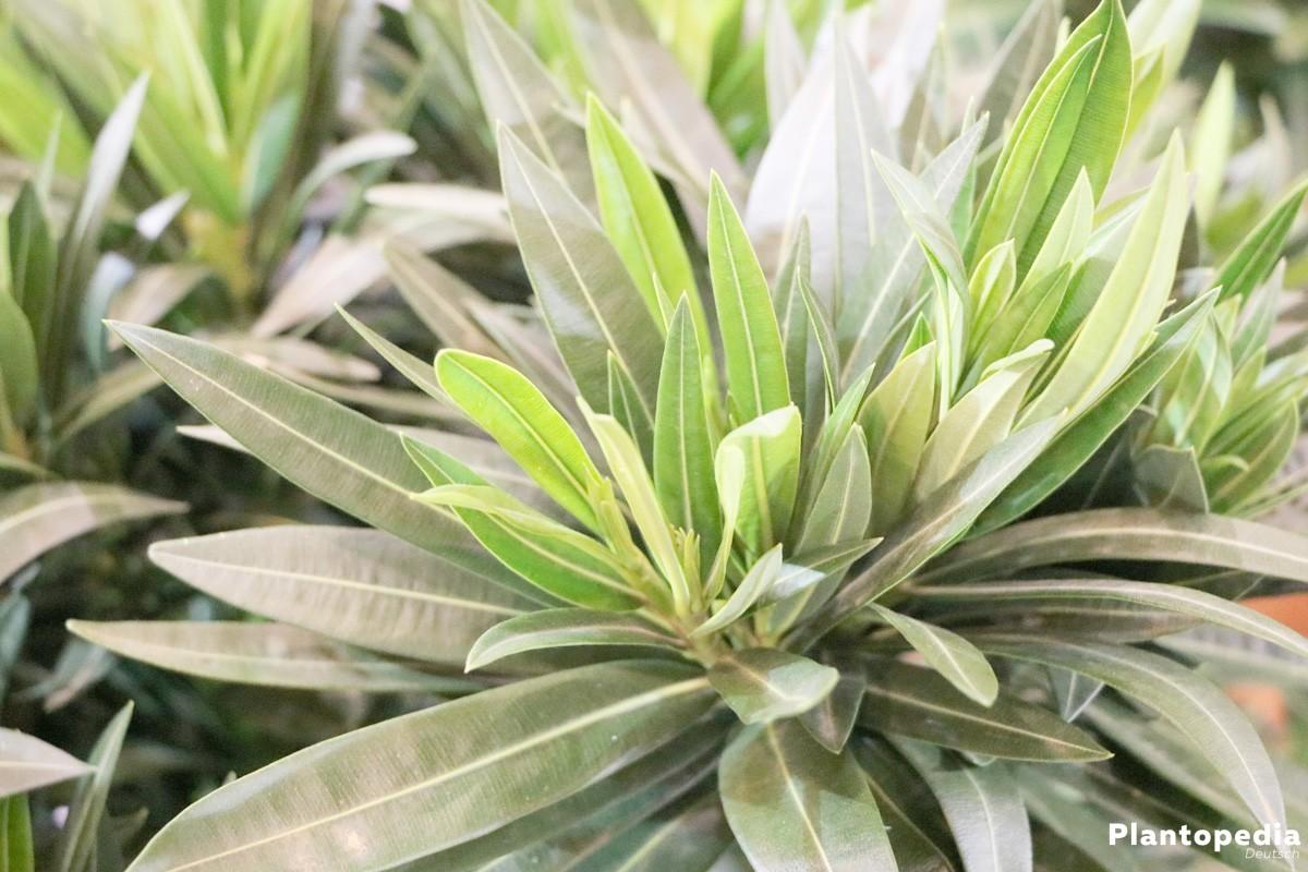 oleander nerium oleander pflanzen pflege und schneiden plantopedia. Black Bedroom Furniture Sets. Home Design Ideas