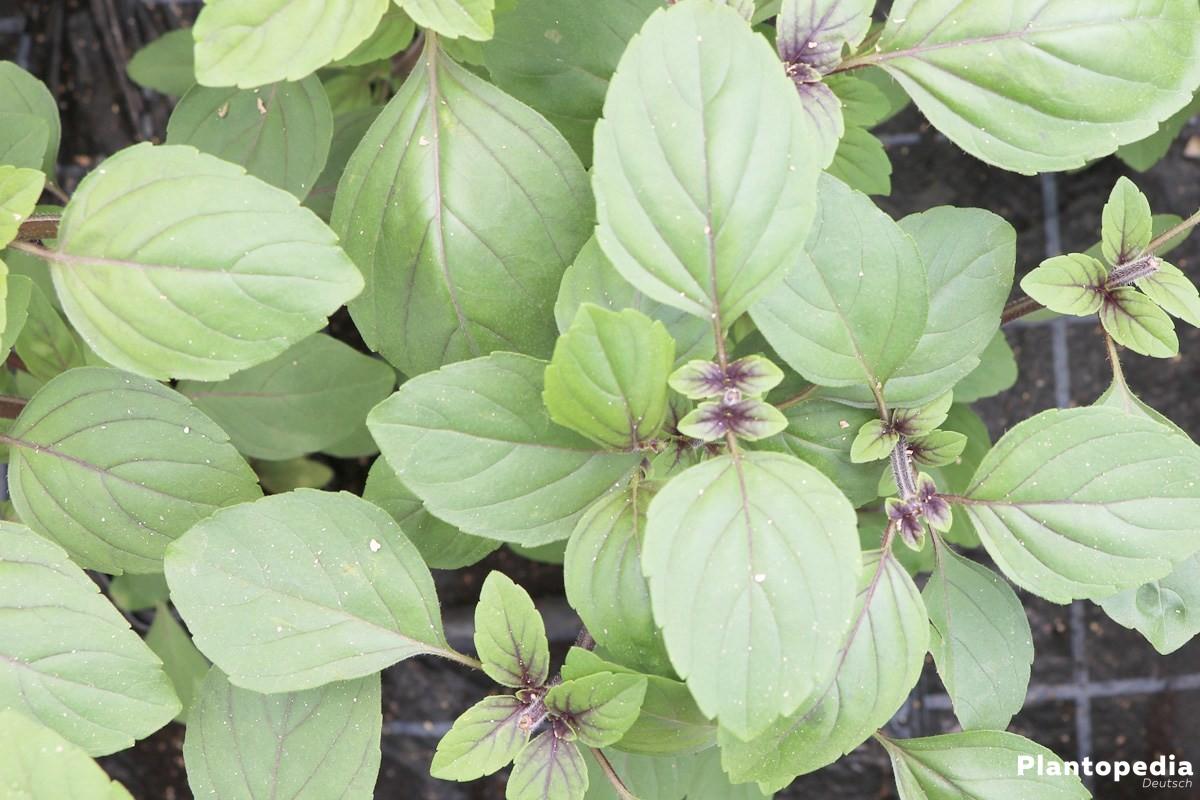 Ocimum kilimandscharicum, rotes Strauchbasilikum