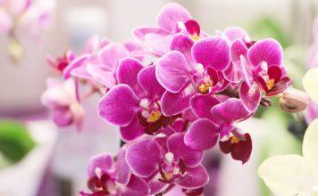Phalaenopsis, Schmetterlingsorchidee