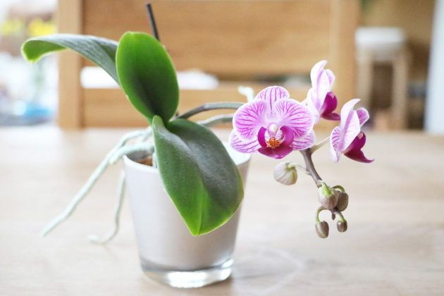 phalaenopsis schmetterlingsorchidee pflege umtopfen plantopedia. Black Bedroom Furniture Sets. Home Design Ideas