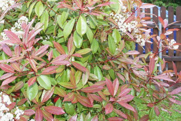 Photinia Fraseri 'Red Robin' zeigt kleine rote Beerenfrüchte im Herbst