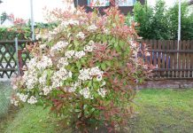 Photinia Fraseri 'Red Robin', Glanzmispel