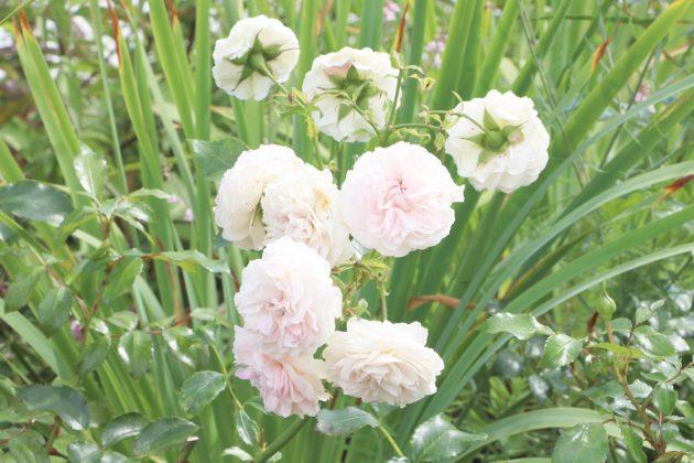 Rosen gehören zu den vielseitigsten Gartenpflanzen