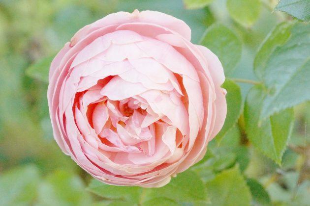 Rose mit rosefarbener, voller Blüte