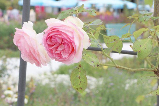 Rose mit zweifarbiger Blütenfarbe in pink und weiß