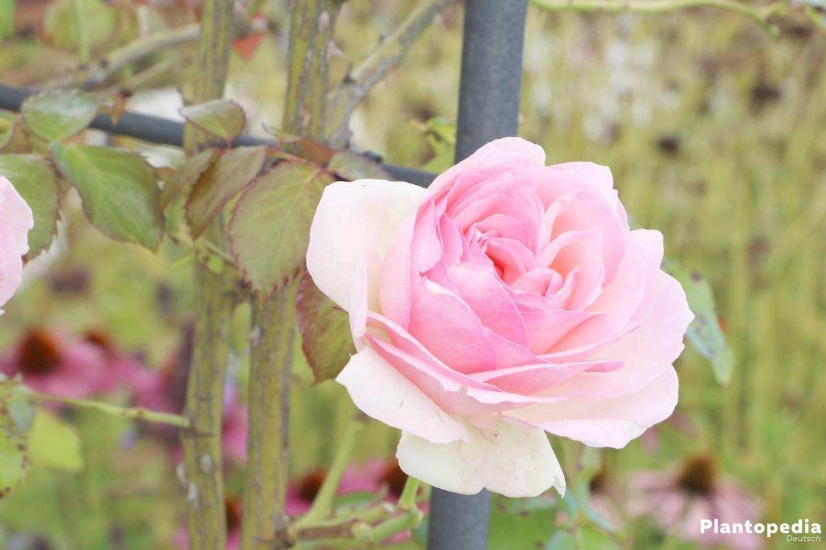 rosenpflege im jahresverlauf rosen richtig pflanzen und. Black Bedroom Furniture Sets. Home Design Ideas