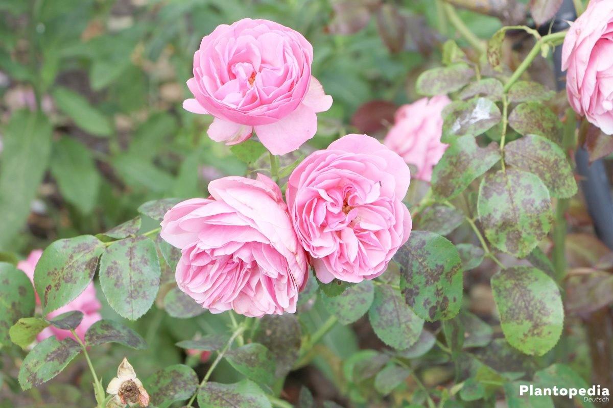 rosenpflege im jahresverlauf rosen richtig pflanzen und pflegen plantopedia. Black Bedroom Furniture Sets. Home Design Ideas