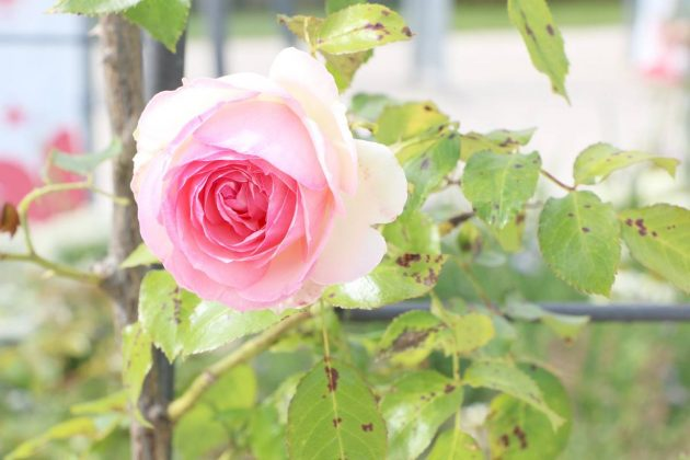 Rosen riechen meist mit zartem Duft