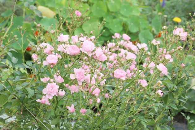 Rosen sind ideale Begleitpflanzen in Beeten