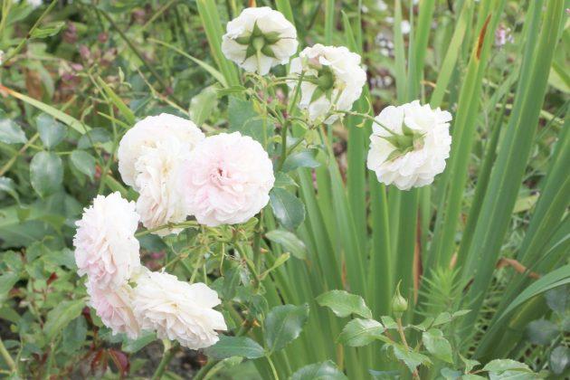 Rosen im Gartenbeet