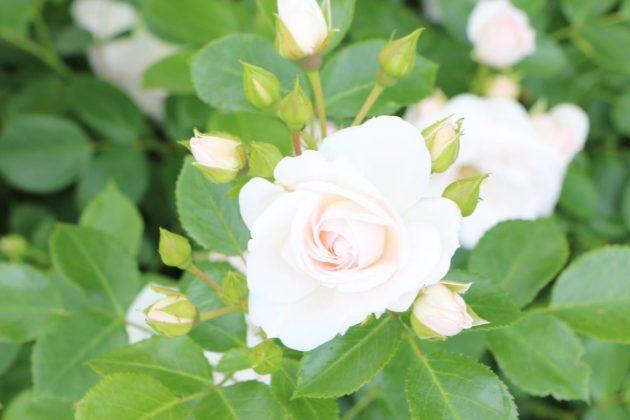 Rosen bevorzugen sandig-lehmige Böden