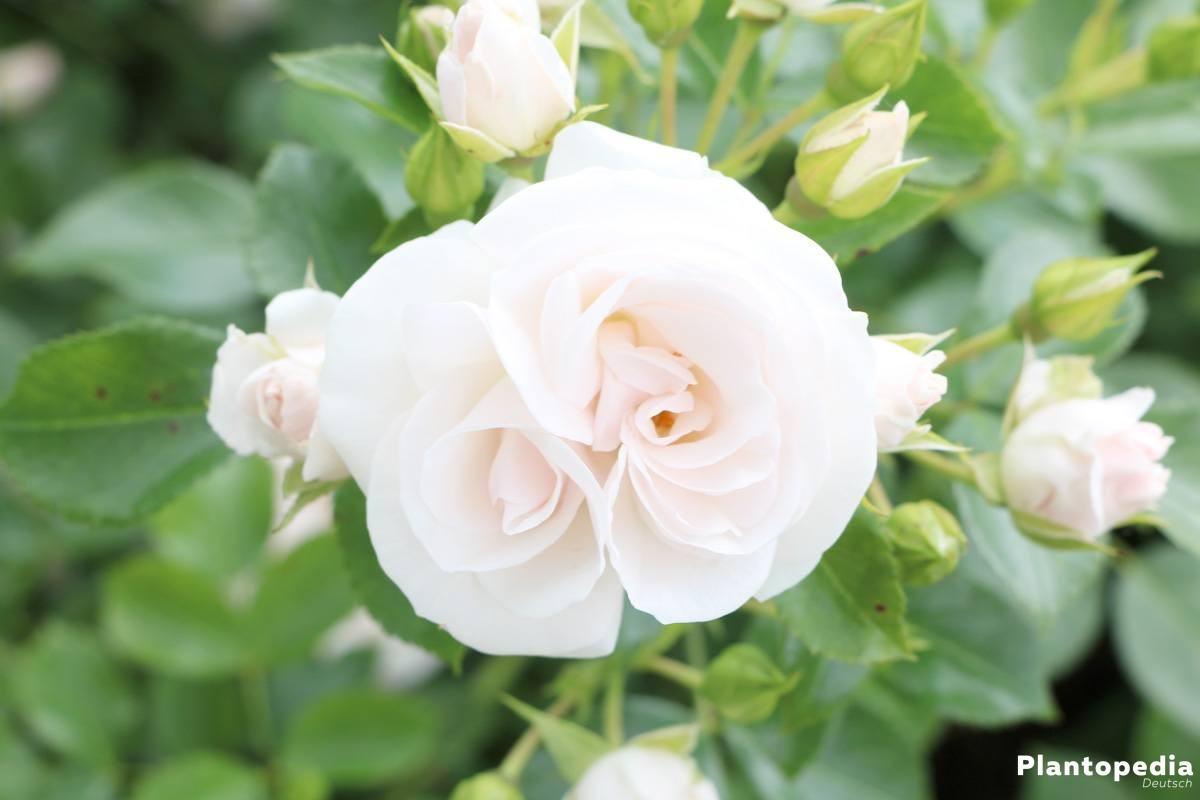 Rosen - weltweit gibt es mehr als 30.000 Sorten