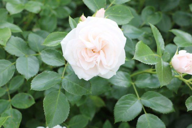 Rose mit weißer, gefüllter Blüte