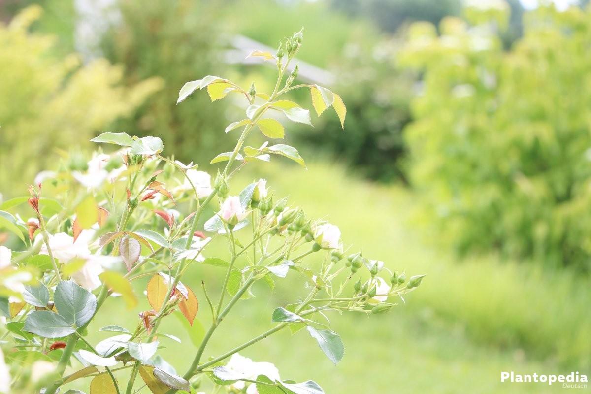 Rosenstrauch im Garten