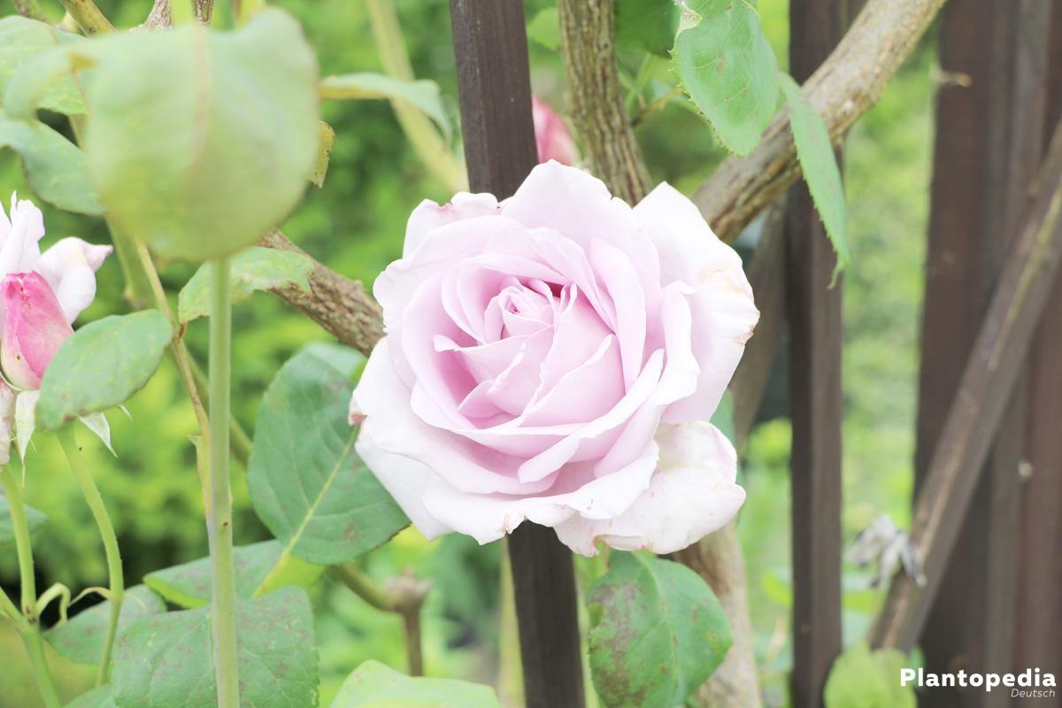 Rosen blühen prächtig und mit voller Blüte