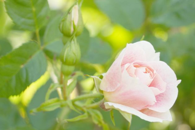 Rosenpflege sollte der Jahreszeit angepasst sein