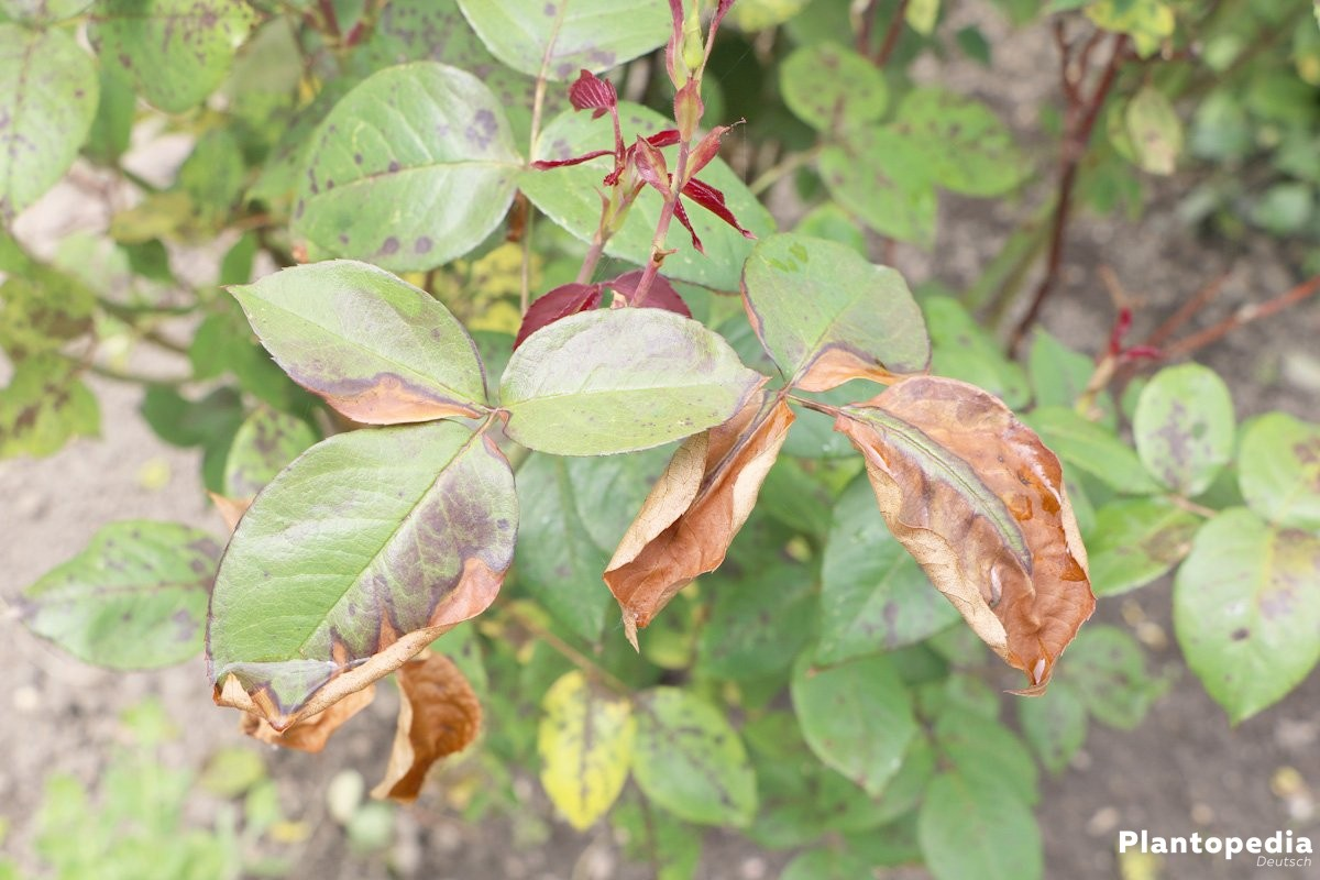 Rose mit trockenen, braunen Blättern