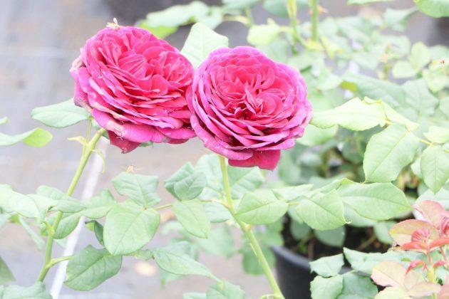 Rosen sollten an heißen Tagen regelmäßig gegossen werden