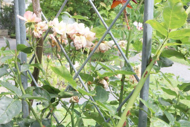 Rosen an einer Rankhilfe