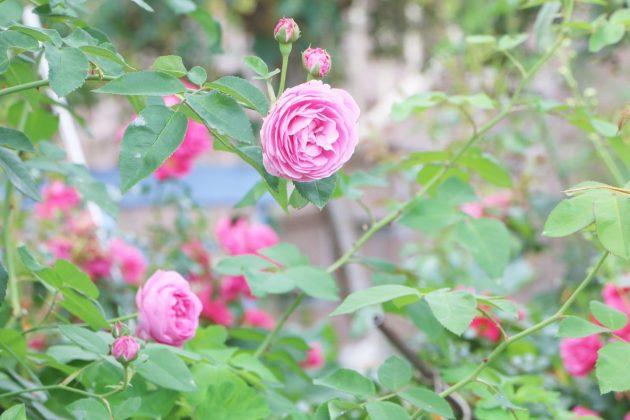 Rose mit pinkfarbenen Blüten