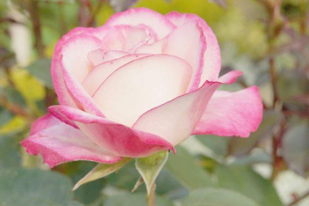 Rosen als Bodendecker