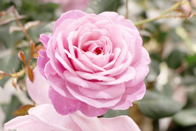 Rose mit gefüllter, rosafarbener Blüte