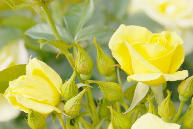 Rosen gibt es in vielen verschiedenen Blütenfarben