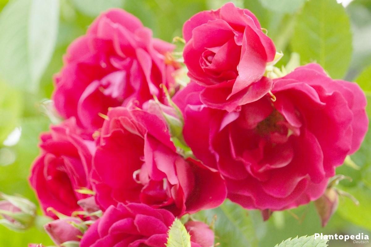 Rose mit mehreren roten Blüten
