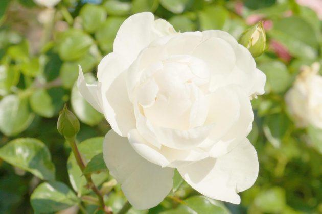 Rose mit weißer Blüte