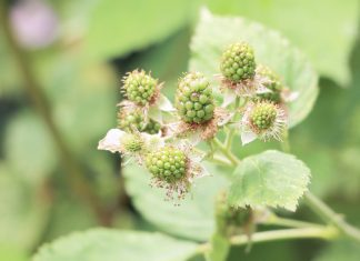 Rubus sectio Rubus, Brombeeren