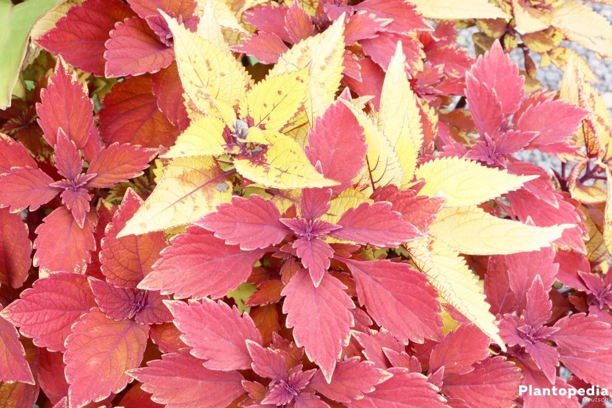 Solenostemon, Coleus, Buntnessel als Gartenpflanze