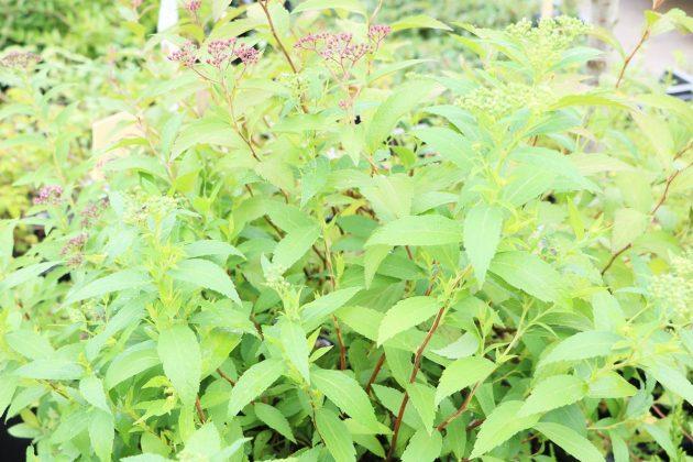 Spiraea japonica, Zwergspiere