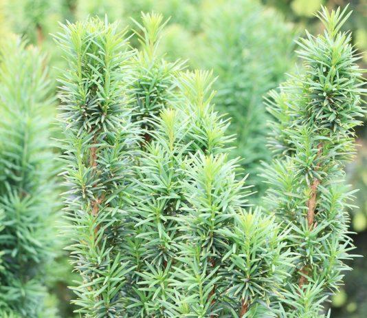 Taxus baccata, Europäische Eibe