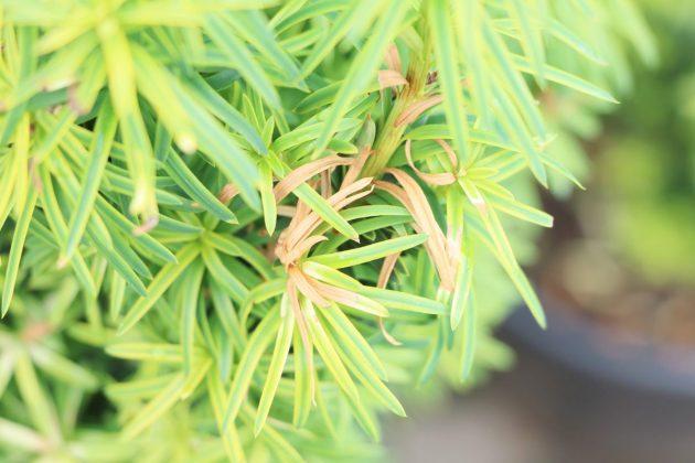 Taxus baccata, Europäische Eibe ist als Hecke gut geeignet